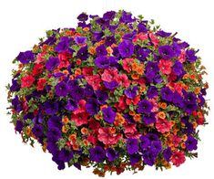 Hot Picotee Morning Glory bonsai Rare Petunia plant Bonsai Flower Plant for Home Garden Easy to Grow, Fall Hanging Baskets, Hanging Planters, Hanging Gardens, Petunias, Container Plants, Container Gardening, Container Flowers, Pot Jardin, Pot Plante