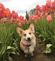 "2,123 Likes, 28 Comments - Simba the Corgi (@simbacorg) on Instagram: ""Thinking of warmer, drier days, but always grateful for the beauty all the rain brings #tbt…"""