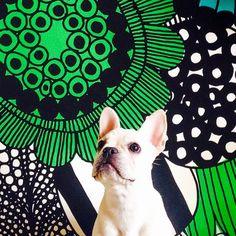 @KiitosMarimekko: This French bulldog is posing adorably in front of the siirtolapuutarha print! Available at http://kiitosmarimekko.com/products/siirtolapuutarha-fabric-blue-green