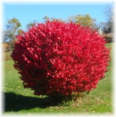 Burning Bush Shrubs are one of fall's most treasured shrubs. It's leaves come alive with vibrant hues fo orange and firey reds. In spring and summer the leaves stays a vibrant green. This is a deciduous bush with a strong nature, it shows, splendid red shading each Autumn.