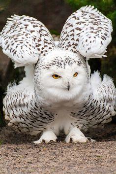Snowy Owl  by Hermen van Laar