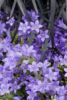 Campanula Catharina and Ophiopogon plansicapus 'Nigrescens' black mondo ornamental grass