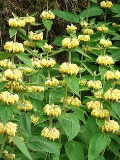 Phlomis russeliana Hardy perennial to 120 cm. Flower early-late summer