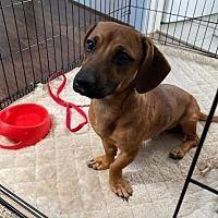 All Texas Dachshund Rescue In Pearland Texas In 2020 Dachshund Rescue Dachshund Adoption Dog Adoption