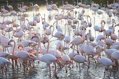 FLAMINGOES, Camargue. France, Provence, wildlife park and nature reserve, swampland region between Arles and Saintes Maries de la Mer. Many ...