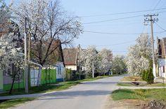 8. April 2016 Selenča, plné ulice kvetov Country Roads