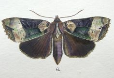 japanese butterfly illustrations | MOTH & BUTTERFLY PRINTS, MINTERN Calpe, Mormo etc hand col. antique ...