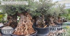 Predaj olivovníkov a exotických rastlín v Bánovciach nad Bebravou. Ako úspešne pestovať olivovníky na Slovensku. Plants, Plant, Planets
