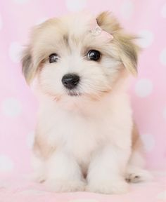 havanese puppies | havanese puppy, havanese puppies, havanese puppies for sale, havanese ...