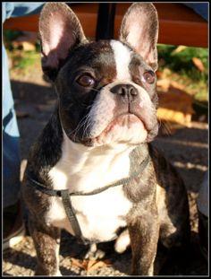 #bulldog #frenchie #frenchbulldog #bully #puppy #dog