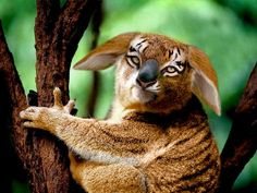Animal mash-ups: koala tiger