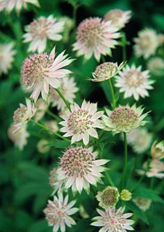 Astrantia involucrata 'Shaggy' - or better known as Granny's Pin Cushion - a classic cottage plant Plants, Fall Flowers, Perennial Garden, Small Garden Inspiration, Perennials, Astrantia Major, Cottage Garden, Garden, Pretty Plants