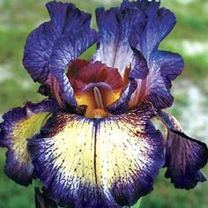 Buy Star Power Reblooming Iris at Michigan Bulb