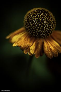 Helenium. Long-blooming, lights up the late-season garden. Many of the best cultivars are hybrids. Deadhead to extend bloom time, and divide the clumps every couple of years to ensure vigor. Light:Sun Zones:3-8 Plant Type:Perennial Plant Height:2-5 feet tall Plant Width:1-2 feet wide Landscape Uses:Beds & Borders Special Features:Flowers,Cut Flowers,Attracts Birds,Attracts Butterflies,Tolerates Wet Soil,Deer Resistant,Easy to Grow