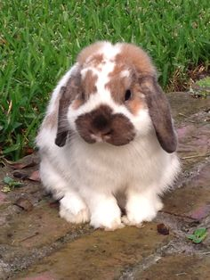 Henry ... Our Holland Lop bunny.