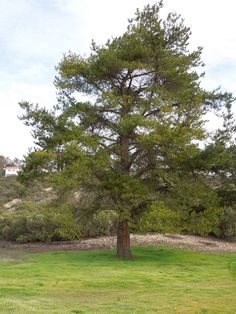 A Pine Tree on  our Land.