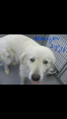 Remington, 2 year old Pyrenees . Available at Stapleton Petsmart April 30th. . Email adoption@paasvinita.com for more information.  www.paasvinita.com