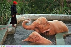 These rare white elephants in Myanmar are really enjoying their shower.