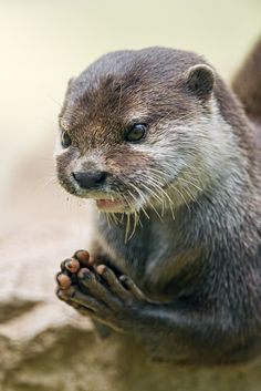 """I really love this picture because you really think that this otter is praying, saying something like """"Dear God, please bring us fish every day!"""" Animals Of The World, Animals And Pets, Baby Animals, Funny Animals, Otters Funny, River Otter, Sea Otter, Friday Funny Images, Otter Love"""