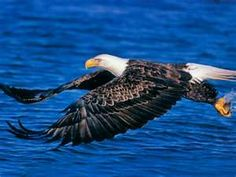 Types of Eagles - The Eagles are the most effective raptor found on planet earth and few of them are amongst the biggest extant types of eagles in the world. The Eagles, Bald Eagles, Wildlife Wallpaper, Eagle Wallpaper, Wallpaper Art, Mobile Wallpaper, Wallpaper Backgrounds, All Birds, Birds Of Prey