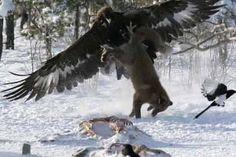 aguia e lobo - Pesquisa Google
