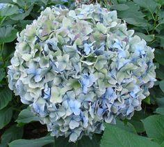 """Hydrangea Antique Green,Blue Jumbo (Hulk) (South America)"""