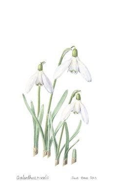 Home Decor Print. Spring. Common Snowdrop.   Galanthus nivalis  by Julie Cane, Australian artist