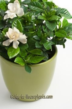 Gardenia care tips for indoor house plants. What to do about flower bud drop, yellow leaves, pruning, plus how to get the most blooms. Year-round care for growing gardenias indoors.