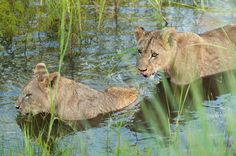 Cubs swimming 2