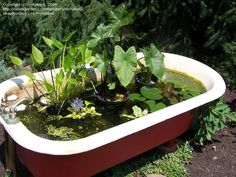 A clawfoot bathtub makes a wonderful water garden on the for Koi pond tubs