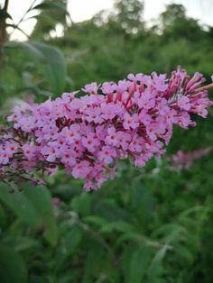 Butterfly bush#pink summer bluming bush#Buddleja davidii Buddleja Davidii, Butterfly Bush, Pink Summer, Summer Garden, Shrubs, Perennials, Flower Gardening, Flowers, Plants