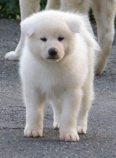 white-akita-inu-puppies-pictures-large.jpg .