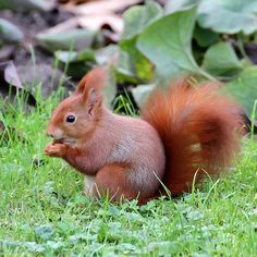 Eichhörnchen - Sciurus vulgaris - Red squirrel. Photo by StefanKoeder via Flickr.