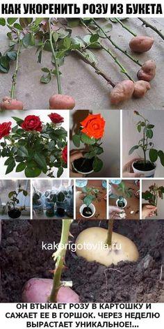 Details about Bonsai Lotus Flower Seeds Real Bowl Lotus Pots Bonsai Garden Plants Seeding Fall Plants, Garden Plants, Bonsai Garden, Planting Vegetables, Vegetable Garden, Rose Plant Care, Rose Cuttings, Rose Trees, Growing Roses