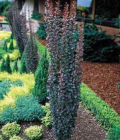"Berberis thunbergii 'Helmond Pillar' (Barberry)  Features: Deep crimson foliage, narrow, upright (pillar-like) form. Full sun. 4-5' H x 30"" W. Zone 4."