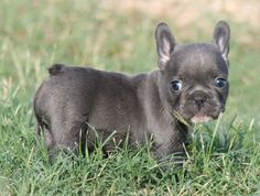 teacup french bulldog, what a cutie