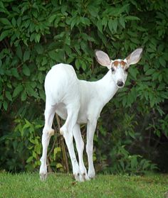 Image of: Albino Deer On Location With Rick Lee Albino Deer Pinterest 29 Best Adorable Animals With Down Syndrome Images Adorable
