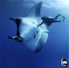 Scuba Diving with a Giant Manta Ray. Whoa!