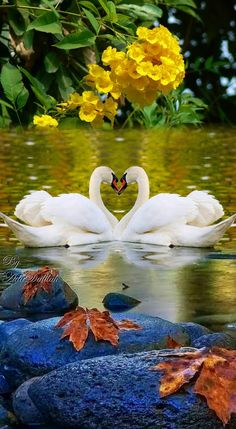 Science Discover 2 artistic beautiful swans in love images montage)) Beautiful Swan Beautiful Birds Animals Beautiful Cute Animals Swan Love Swan Pictures Bird Pictures Nature Pictures Pretty Birds Beautiful Nature Pictures, Beautiful Flowers Wallpapers, Beautiful Nature Wallpaper, Amazing Nature, Nature Photos, Beautiful Landscapes, Beautiful Swan, Beautiful Rose Flowers, Beautiful Birds