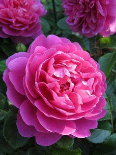 Rose 'Princess Anne' Rosa