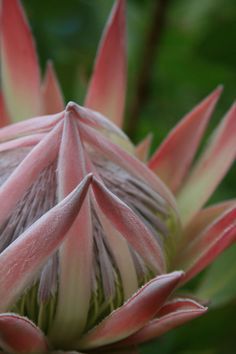 Hawaiian King Protea - this was in my wedding bouquet!  DDD