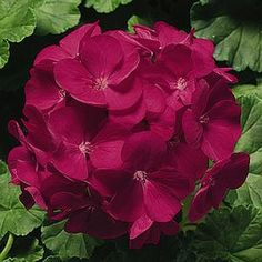 a wine colored geranium with 3 lemon superbell petunias in a hanging basket. a wine colored geranium with 3 lemon superbell petunias in a hanging basket.a wine colored geranium with 3 lemon superbell petunias in a hanging basket. Tiny Flowers, Types Of Flowers, Exotic Flowers, Beautiful Flowers, Planters For Shade, Shade Plants, Geranium Flower, Sweet Violets, Malva
