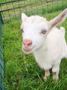 goat kid | Tumblr