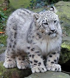 Güzel bir Kar Leoparı