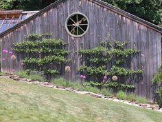 Espalier fruit canes on barn