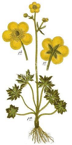 Ranunculus_acris_-_      ...