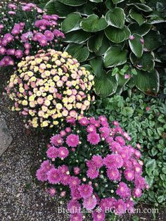 New Chrysanthemums and a Growing Tip ... read more