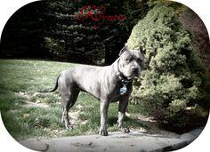 Sound-Side Pitbulls, American Pitbull Terriers, blue nose pitbulls, ct pitbulls, razors edge pitbulls, ct pitbull breeder, Connecticut, Pitbull Puppies, Dog Vitamins, Bully Max, Collars,Leashes, Pitbull Apparel, dog obedience training, protection training, k9 bite training