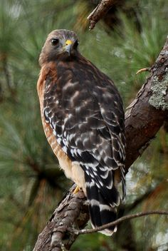 Falcon | Flickr - Photo Sharing!