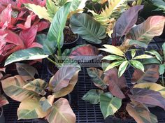 How Herb Back Garden Kits Can Get Your New Passion Started Off Instantly Philodendron Congo Red Variegated and Philodendron Black Cardinal Variegated Growing Vegetables Indoors, Easy Vegetables To Grow, Types Of Vegetables, Growing Plants, Philadendron Plant, Plant Care, Plant Leaves, Philodendron Monstera, Indoor Vegetable Gardening